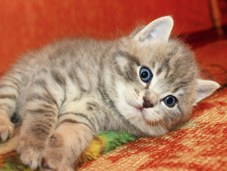 little nice and amusing kitty of Scottish Straight breed