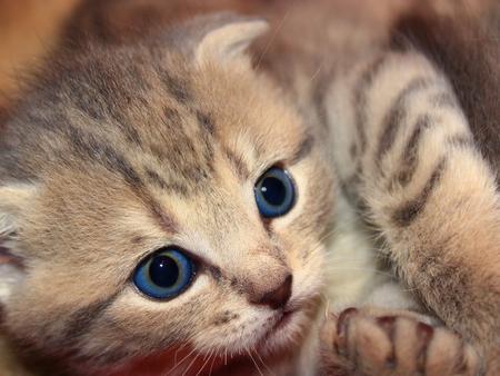 scottish straight: little nice and amusing kitty of Scottish Straight breed