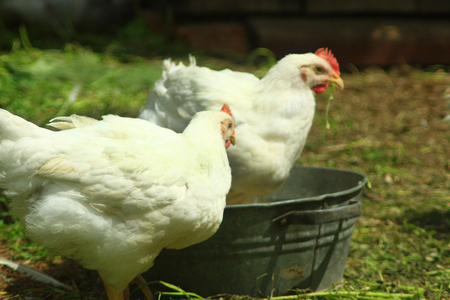 granja avicola: gallinas blancas comen en la granja de aves de corral