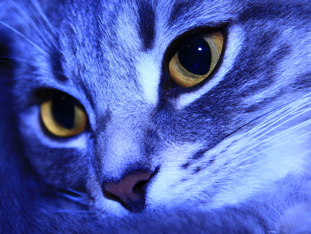 scottish straight: close-up of muzzle of Scottish Straight cat