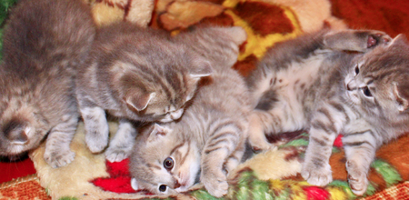 scottish straight: Scottish straight breed kittens play about on the carpet