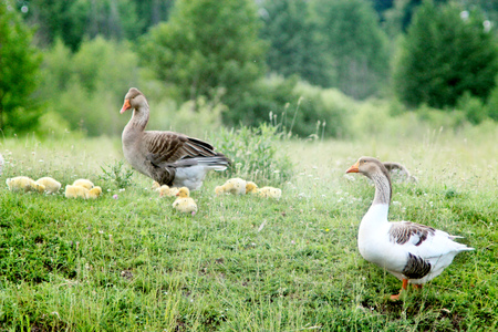 webbed foot: young goslings with parents on the grass in the village