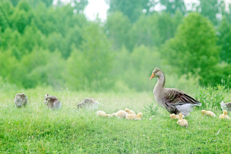 waddling: young goslings with adult goose on the grass in the field