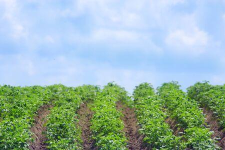 potato tree: Kitchen garden with bushes of growing potato in row Stock Photo