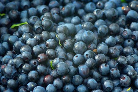 collected: ripe dark berries of bilberry collected in the forest