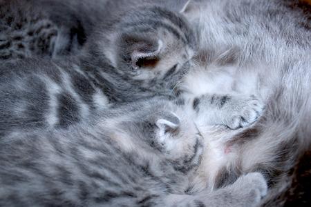 scottish straight: cat and its newborn kittens of Scottish Straight breed