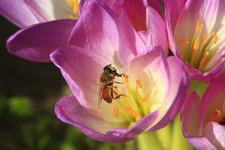 colchicum autumnale: bee collecting nectar on the pink flower of Colchicum autumnale blossoming in the Autumn