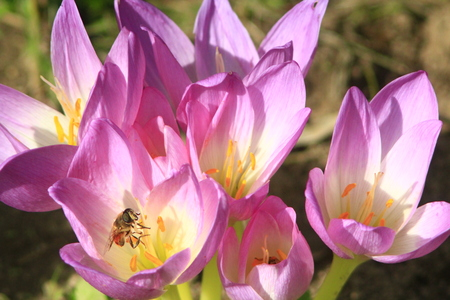 colchicum autumnale: bee collecting nectar in the pink flower of Colchicum autumnale blossoming in the Autumn