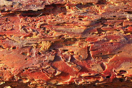 strips away: texture from pine bark ate away by Common furniture beetles
