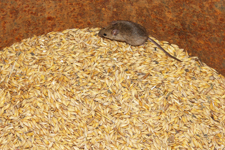larder: little grey mouse running on the wheat in the pantry