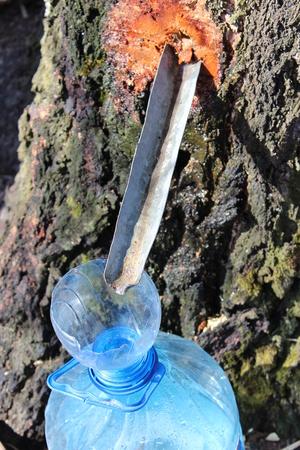 useful: harvesting of useful birch juice in the spring