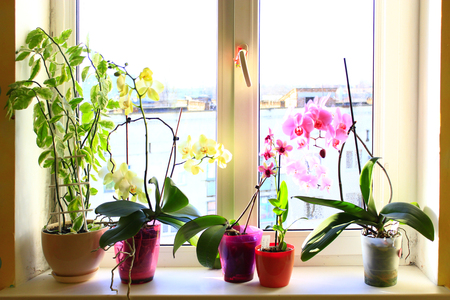windowsill: beautiful blooming multicolored orchids on the window-sill