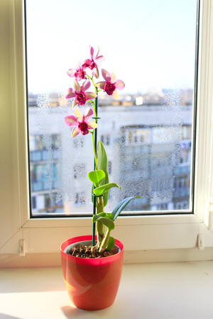 windowsill: beautiful blooming pink orchid in a pot on the window-sill Stock Photo