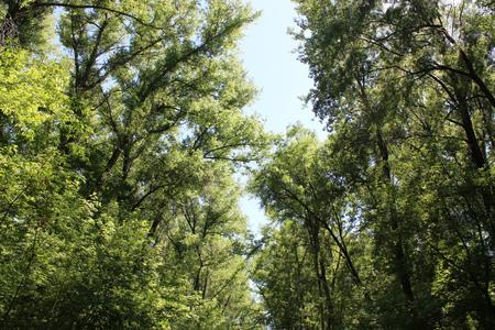cottonwood tree: poplar down on the trees