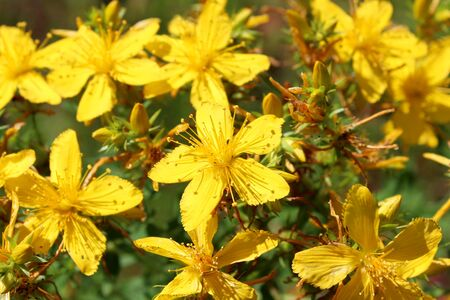 wort: Yellow beautiful flowers of medical St.-Johns wort Stock Photo