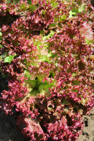 useful: brown leaves of useful lettuce grown on the bed