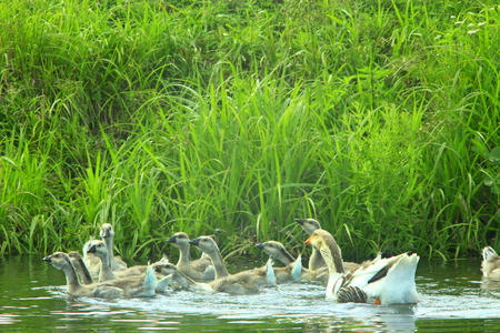 waddling: hatch of white geese swimming on the water Stock Photo
