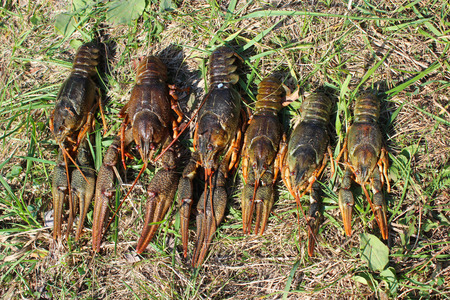 riverine: some river cancers lying on the grass Stock Photo
