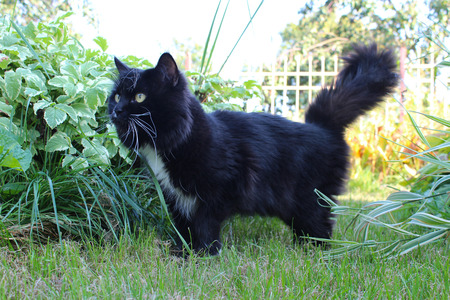 unruffled: black cat going for a walk on green grass in the kitchen garden Stock Photo
