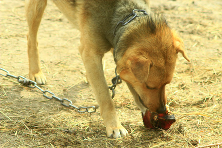 watchdog: watchdog on eats a piece of meat