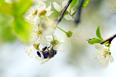 cherrytree: bumblebee collects nectar on the branch of blooming cherry-tree Stock Photo