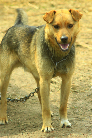cur: nice rural watch dog tied in chain