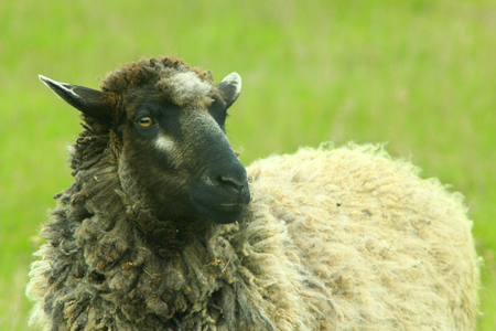 nostrils: sheep grazing on the green grass of pasture