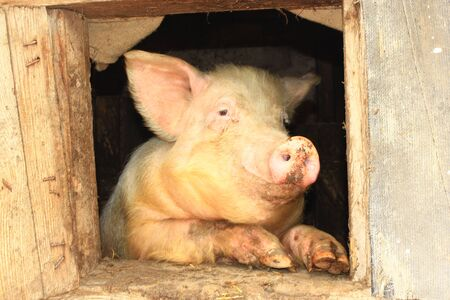 pig out: pig looks out from window of shed on the farm