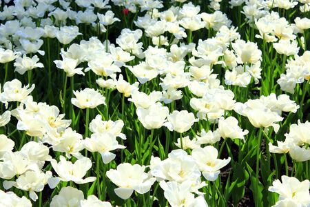 flower beds: a lot of beautiful white tulips on the flower-bed