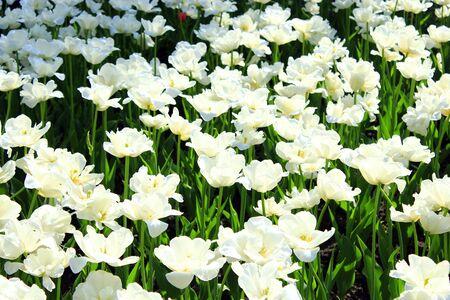 jardines con flores: una gran cantidad de bellos tulipanes blancos en el macizo de flores