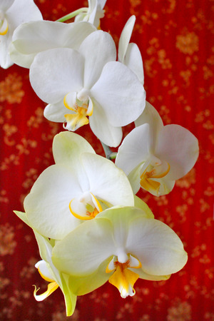 sumptuous: beautiful branch of the blossoming white orchid on the background of luxurious wallpaper