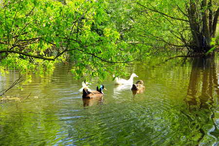 willows: Flight of ducks swim on the river with willows