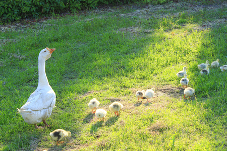 waddling: young goslings with their goose on the grass in the village
