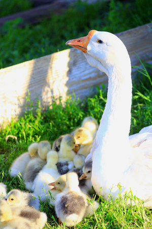 waddling: goslings with their goose on the grass in the village