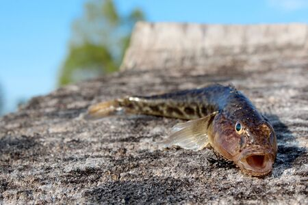 gudgeon: gudgeon caught and small ant near it Stock Photo