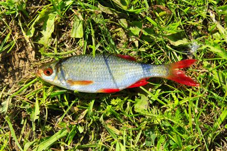 cypriniformes: fresh caught rudd laying on the grass