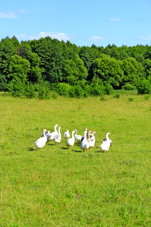 flight of white house geese on the meadow