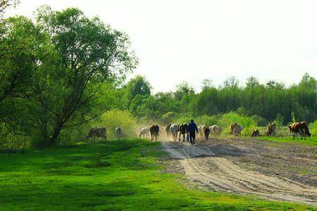 herder: herder leads cows from pasture in the summer