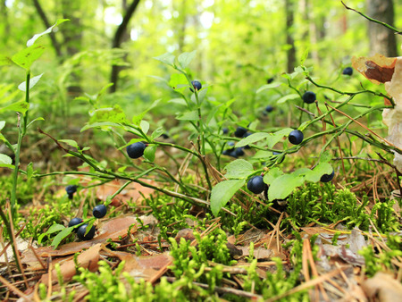 blueberry bushes: green bush with bilberry in the forest Stock Photo