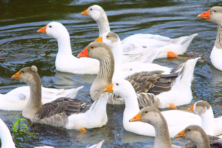 waddling: flight of young white geese swimming on the water