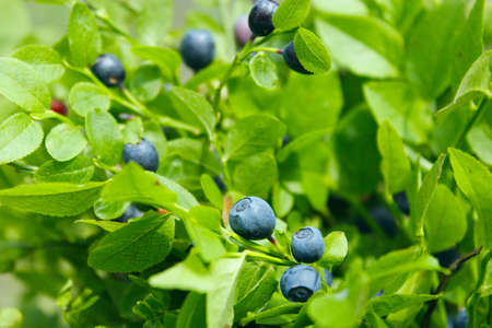 bilberry: green bush with bilberry in the forest Stock Photo