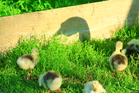 shadow of goose that guards its goslings on the grass