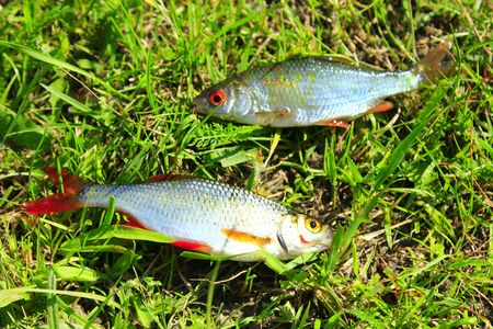 cypriniformes: two beautiful caught ruddes laying on the grass