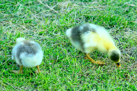 nibble: brood of young goslings that nibble the grass in the poultry-yard Stock Photo