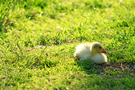 waddling: unique gosling on the grass in the village Stock Photo