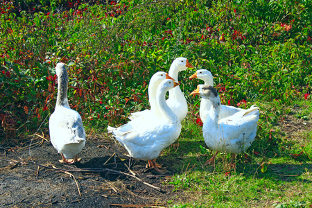 waddling: flight of white house geese on the meadow