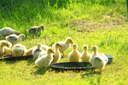waddling: young goslings drink water from plate on the grass in the village Stock Photo