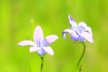 patula: a pair of beautiful flowers of Campanula patula in the field Stock Photo