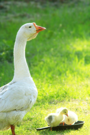 webbed: young goslings with their goose on the grass in the village