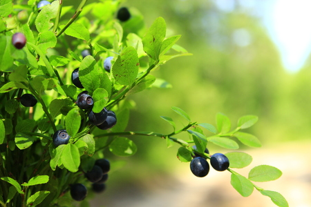 blueberry bushes: tuft of ripe bilberry in the forest